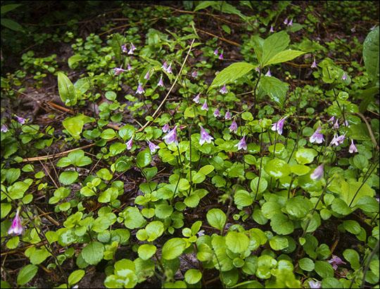 Adirondack Wildflowers: Twinflower along the Barnum Brook Trail (29 June 2013)