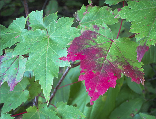 Trees of the Adirondacks:  Red Maple leaf on the Barnum Brook Trail (12 September 2012)