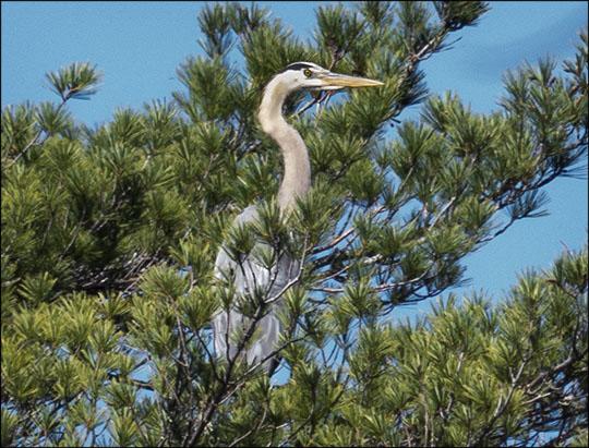 Birds of the Adirondacks:  Great Blue Heron near the Barnum Brook overlook (7 May 2013)