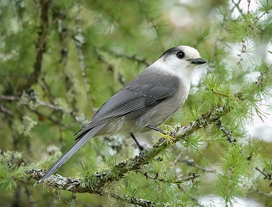 Birds of the Adirondacks: Gray Jay on the Bloomingdale Bog Trail (3 June 2017)