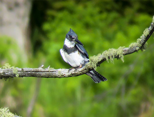 Birds of the Adirondacks: Belted Kingfisher on the Bloomingdale Bog Trail (4 June 2017)