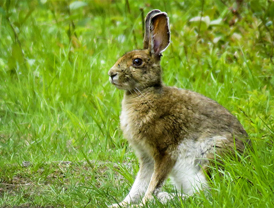 Adirondack Mammals: Snowshoe Hare on the Bloomingdale Bog Trail (3 June 2017)