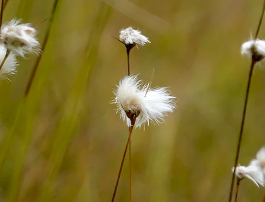 Wetland Wildflowers of the Adirondacks: Cottongrass on Bloomingdale Bog (18 September 2015)