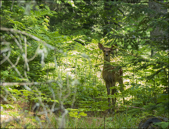 Mammals of the Adirondacks:  White-tailed Deer along the Bobcat Trail (18 June 2013)