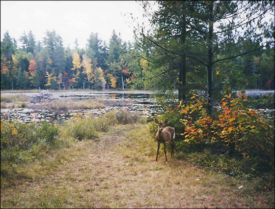 Mammals of the Adirondacks:  White-tailed Deer along the Bobcat Trail)