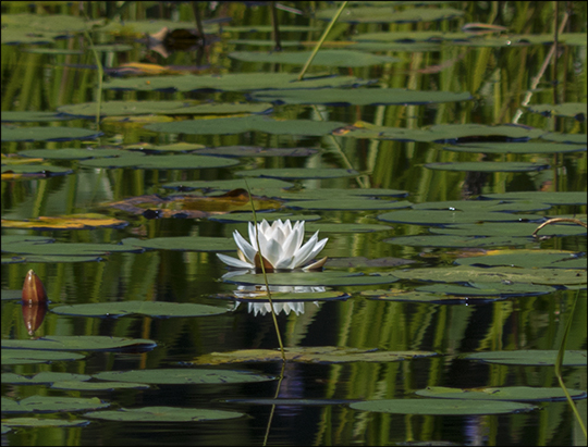 Adirondack Wildflowers: White Water Lily along the Bobcat Trail (31 July 2013)