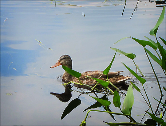 Birds of the Adirondacks:  Mallard along the Bobcat Trail (8 August 2012)