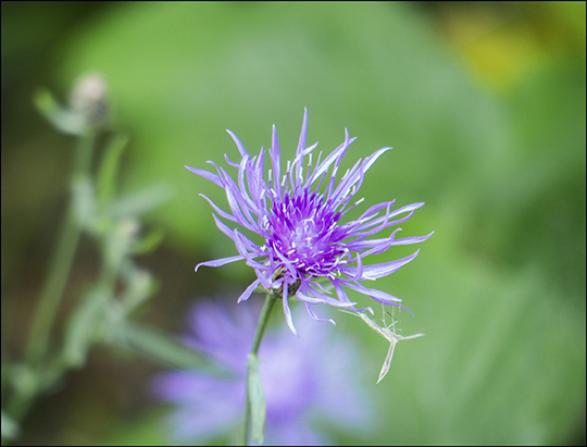 Adirondack Wildflowers: Spotted Knapweed on the Esker Trail (21 August 2013)