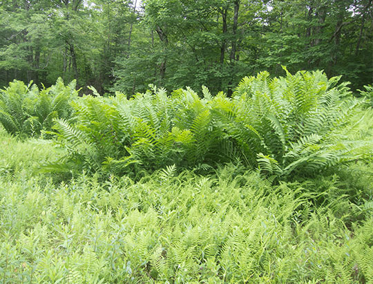 Adirondack Ferns: Interrupted Ferns on the ski slope on the Heart Lake Trail (28 June 2017)