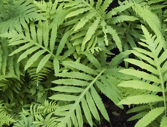 Adirondack Ferns: Sensitive Fern in the fern garden at the Nature Museum at Heart Lake (28 June 2017)