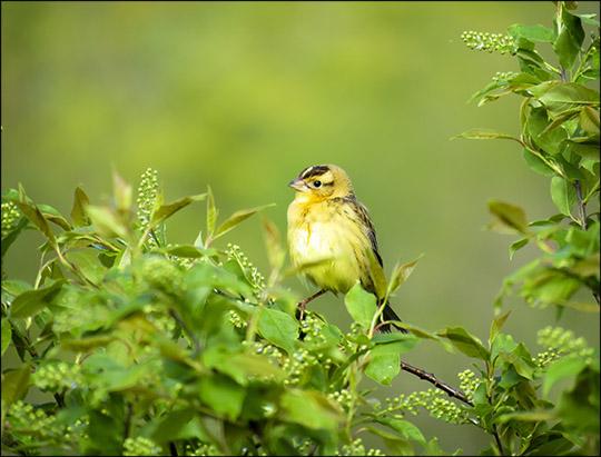 Adirondack Birds: Female Bobolink on Heaven Hill (27 May 2017)