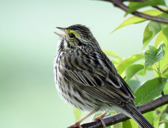 Adirondack Birds: Savannah Sparrow on Heaven Hill (20 May 2017)