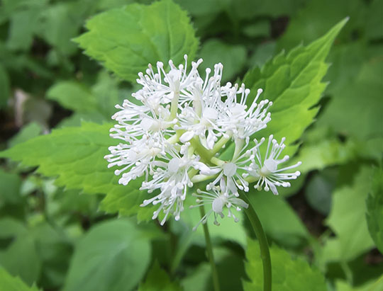 Adirondack Wildflowers: White Baneberry on the Big Field Loop at Heaven Hill (7 June 2017)