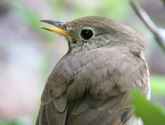 Adirondack Birds: Hermit Thrush on the Heaven Hill Trails (14 June 2017)