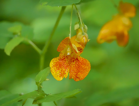 Adirondack Wildflowers: Spotted Touch-me-not on the Henry's Woods Loop Trail (3 August 2015)