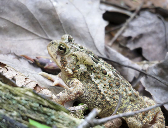 Adirondack Amphibians: American Toad on the Henry's Woods Plateau Trail (6 July 2017)