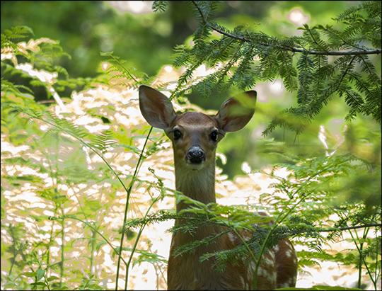 Adirondack Mammals: White-tailed Deer on the Heron Marsh Trail (18 June 2013)