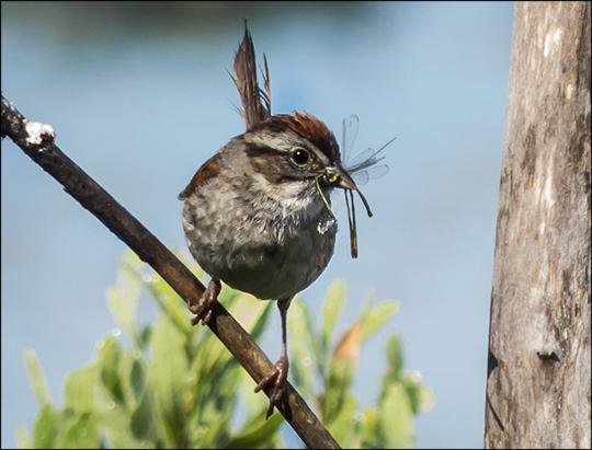 Birds of the Adirondacks:  Swamp Sparrow on Heron Marsh (22 July 2013)