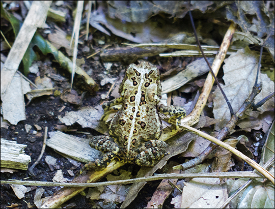 American Toad on the Jenkins Mountain Trail (12 August 2013)