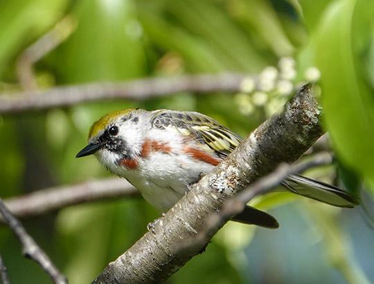 Adirondack Birds: Chestnut-sided Warbler at John Brown Farm (20 May 2017)