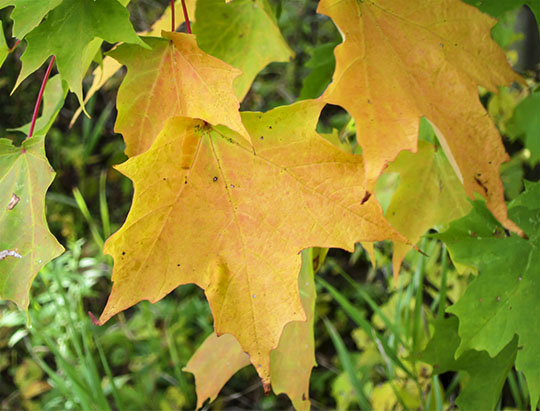 Adirondack Trees: Sugar Maple leaf on the Maple Grove Trail at John Brown Farm (27 September 2015)