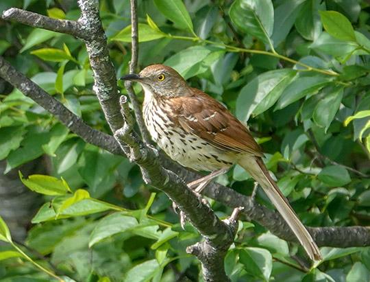 AAdirondack Birds: Brown Thrasher at John Brown Farm (28 April 2017)