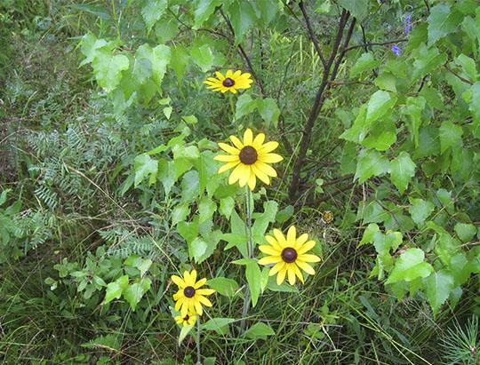 Adirondack Wildflowers: Black-eyed Susan at John Brown Farm (22 July 2010)
