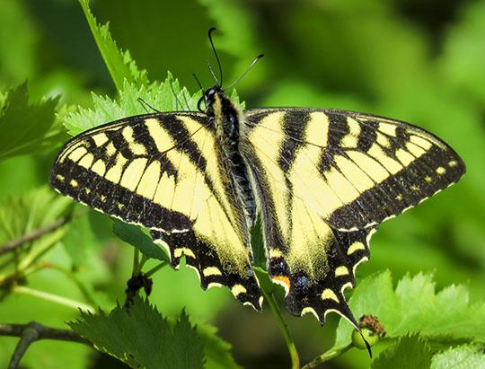 Adirondack Butterflies: Canadian Tiger Swallowtail at John Brown Farm (22 June 2017)