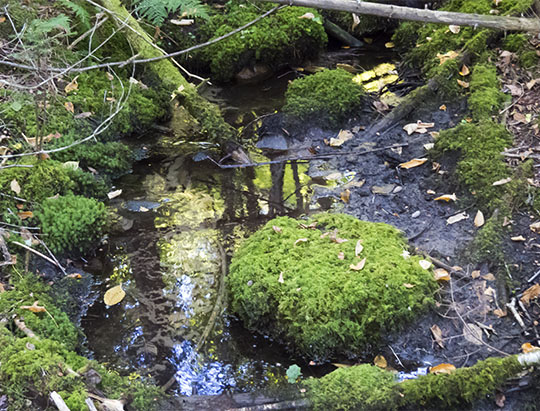 Adirondack Moss: Stair-step Moss on the Maple Grove Trail at John Brown Farm (27 September 2015)
