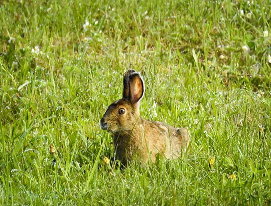 Adirondack Mammals: Snowshoe Hare at John Brown Farm (27 May 2017)