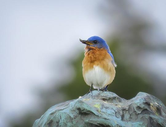 Adirondack Birds: Eastern Bluebird at John Brown Farm (2 May 2017)