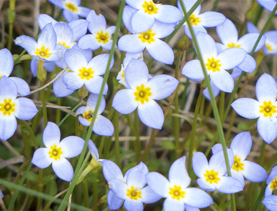 Adirondack Wildflowers: Bluets at John Brown Farm (19 May 2014)