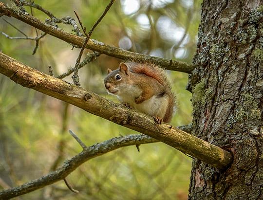 Adirondack Mammals: Red Squirrel on Logger's Loop (14 May 2013)
