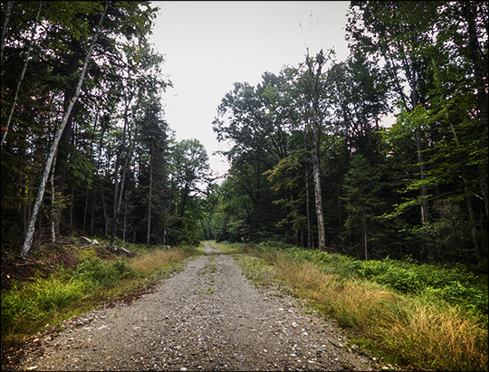 Trees of the Adirondacks: Paper Birch along the Logger's Loop Trail (23 August 2013)