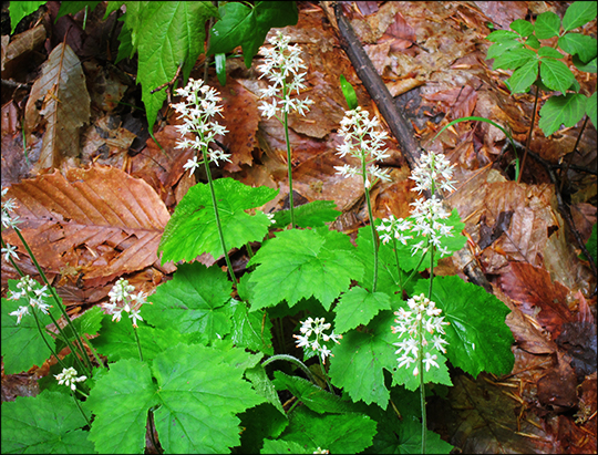 Adirondack Wildflowers:  Foamflower along the Logger's Loop Trail (23 May 2012)