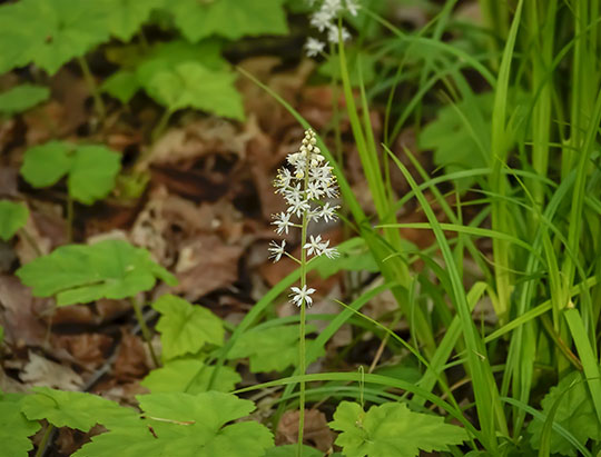 Adirondack Wildflowers:  Indian Cucumber-root on the Boundary Trail at the Peninsula Nature Trails (1 August 2015)