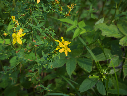 Adirondack Wildflowers: St John's Wort on the Skidder Trail (19 August 2013)