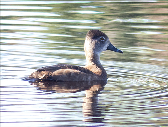 Birds of the Adirondacks:  Ring-necked Duck on Heron Marsh (7 May 2013)
